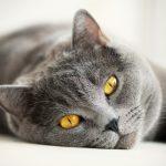 Тромбоэмболия у кошек